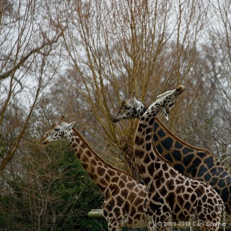 Chester Zoo Dec 2018 Tamron 28-70mm 2.8 lens test and Canon 70--300mm lens