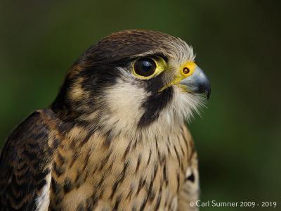 Jessops Bird of Prey workshop April 2019